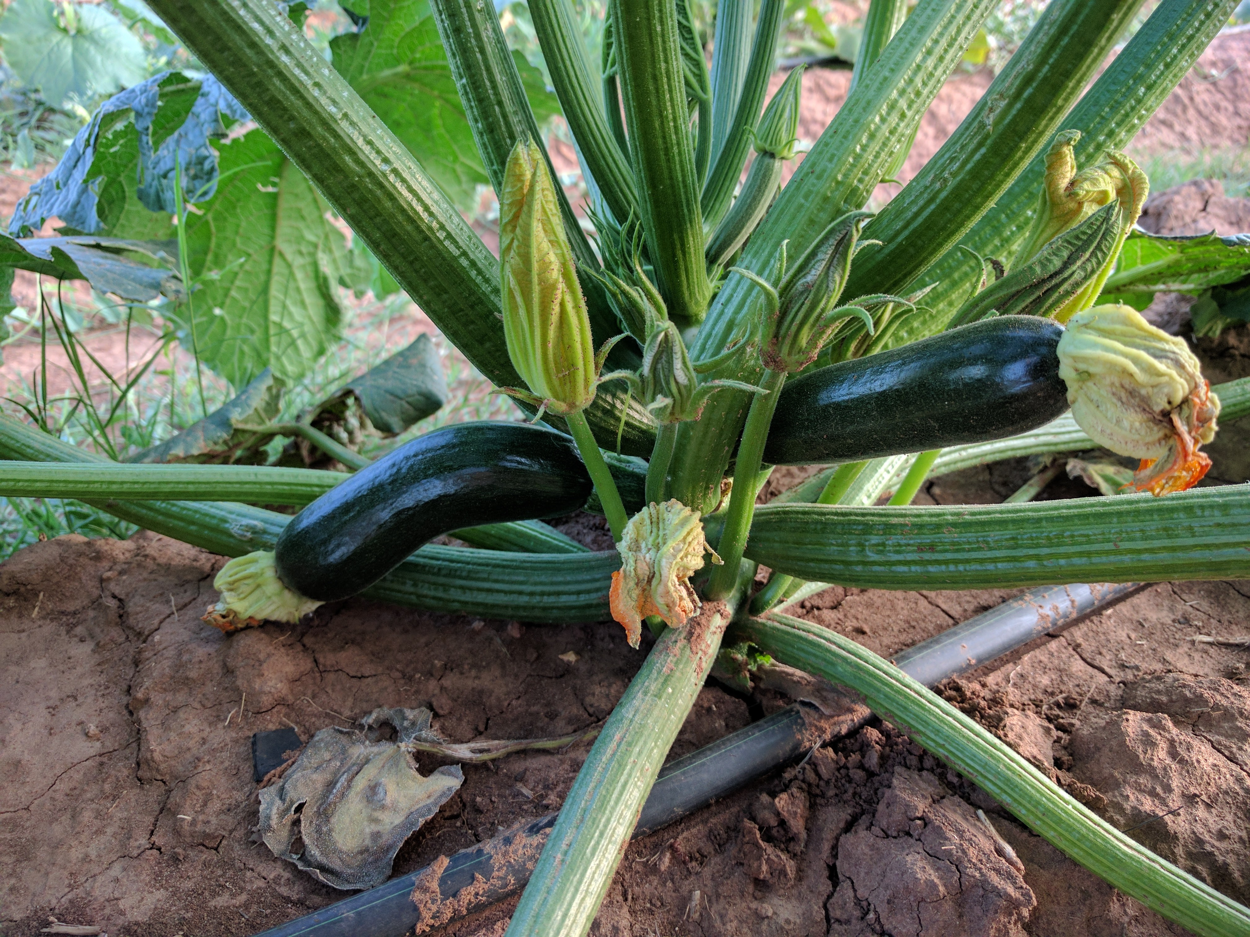 Early Zucchini Available Now