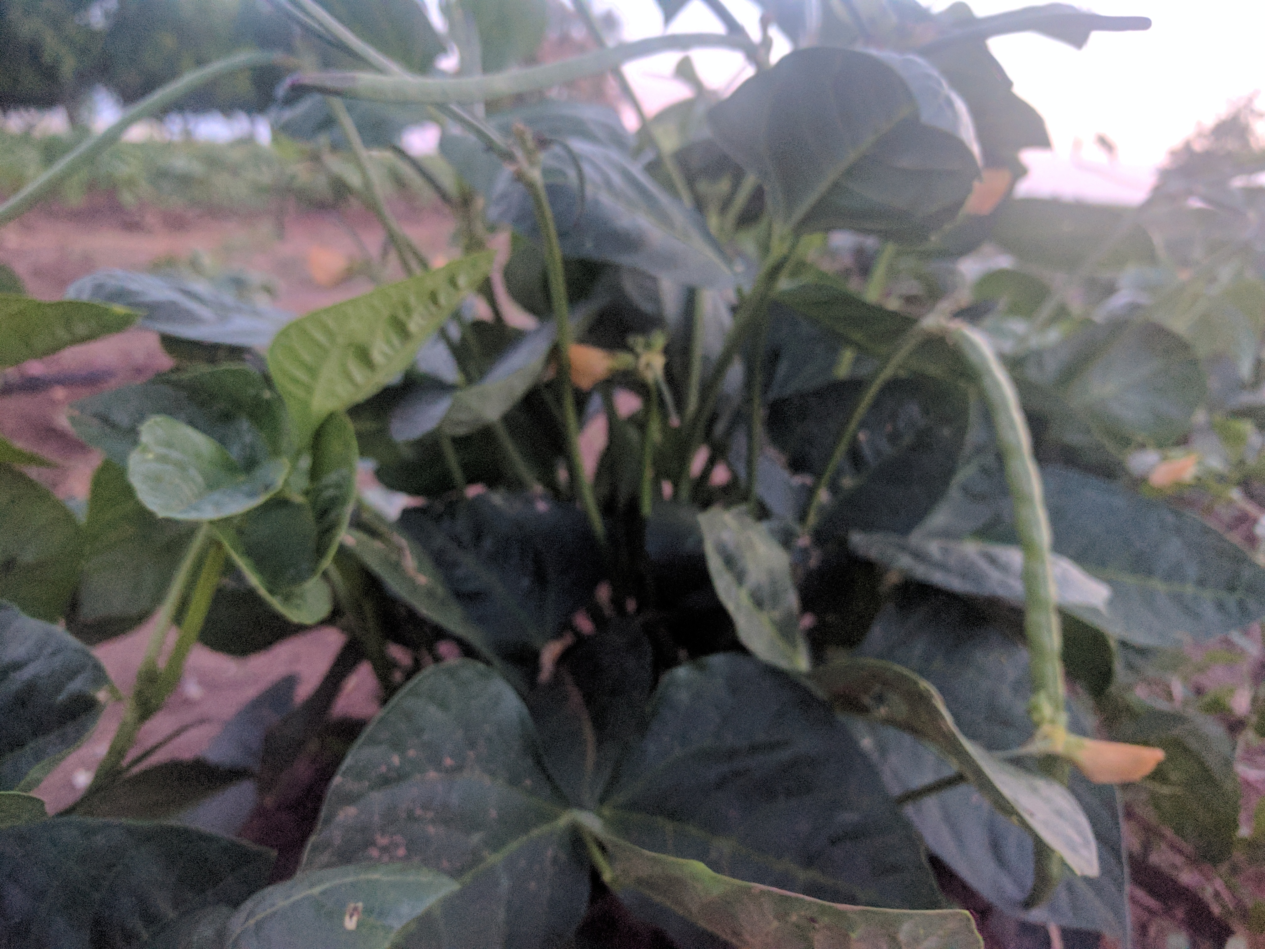 Blackeyed Peas Almost Ready