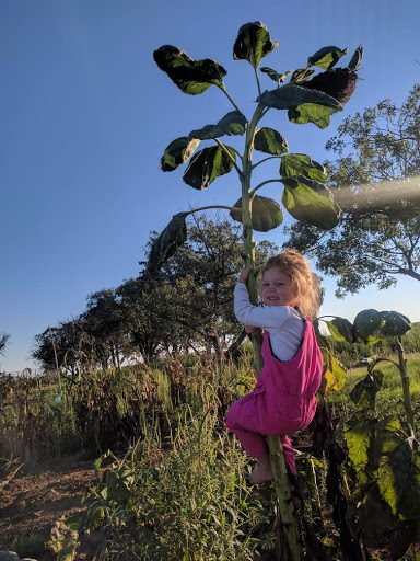 Sunflower Harvest Time